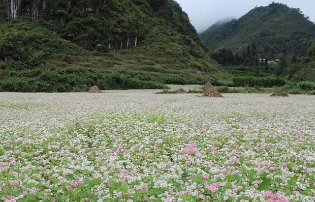 Rực rỡ những sắc hoa trên cao nguyên đá Hà Giang