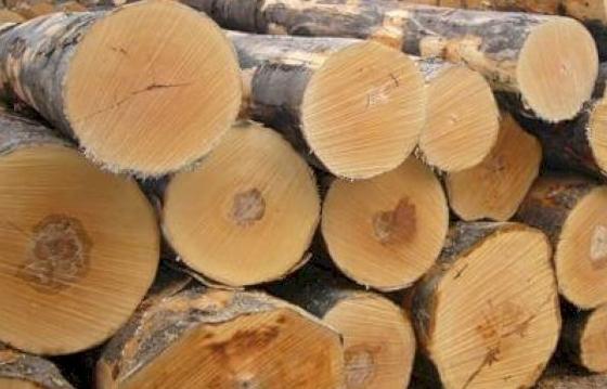 Tăng cường kiểm soát gỗ nguyên liệu bạch dương nhập khẩu