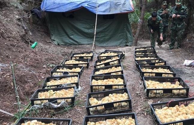 Thu giữ 5.000 con gà giống nhập lậu gần cửa khẩu Chi Ma
