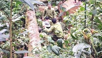 Bắt giữ hai đối tượng người Lào chặt hạ cây gỗ quý samu trăm tuổi
