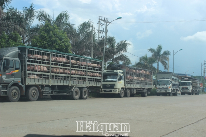 Lạng Sơn tăng cường kiểm soát, xử lý vận chuyển lợn trái phép