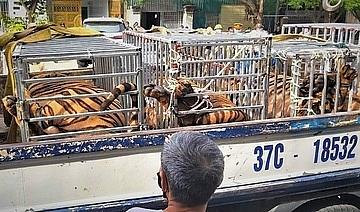Số hổ nuôi nhốt tại nhà dân được đưa về phục vụ điều tra. Ảnh: CA NA