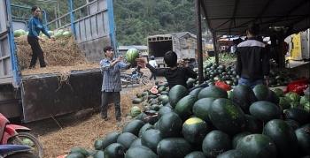 Thêm khó khăn khi xuất dưa hấu sang Trung Quốc