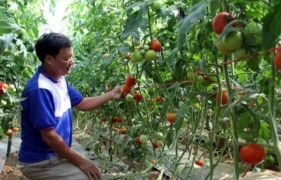 Ớt chuông, cà chua nhiễm virus mới, hết đường vào Đài Loan