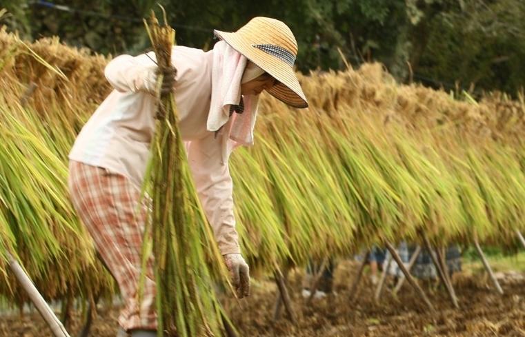 Thái Lan đẩy mạnh hỗ trợ sản xuất lúa gạo và xuất khẩu trái cây