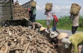 Thái Lan suy giảm sản xuất, sắn lát Việt được đà tăng giá