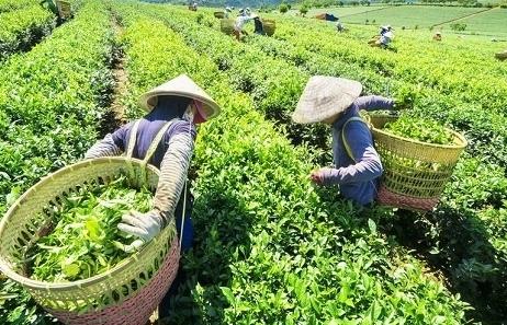 """Chè Việt lao đao vì thị trường xuất khẩu """"đóng băng"""""""