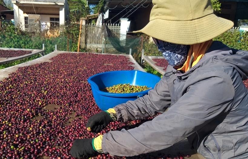 Giá cà phê cao lịch sử nhưng xuất khẩu còn tiếp tục trầy trật