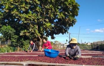 Giá cà phê xuống thấp, dân găm hàng, doanh nghiệp gặp khó