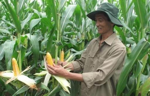 Diện tích ngô biến đổi gen ở Việt Nam tăng hơn 26 lần