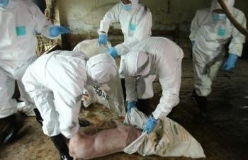 Dịch tả lợn châu Phi hoành hành tại 29 tỉnh, thành phố