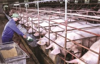 Giá lợn quá cao, lần đầu tiên Việt Nam cho phép nhập khẩu cả lợn sống