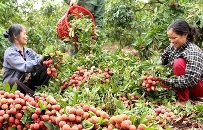 Bắc Giang đã xuất hơn 1.000 tấn vải thiều sang Trung Quốc