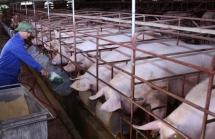 Địa phương hỗ trợ về đất, lãi suất vốn vay để tái đàn lợn
