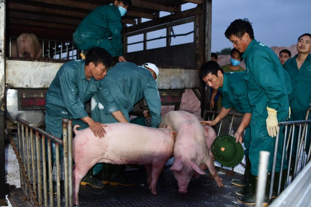 """500 con lợn Thái Lan về cửa khẩu Lao Bảo, giá thịt lợn có """"hạ nhiệt""""?"""