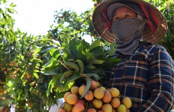 Thực hiện luồng xanh với nông sản xuất khẩu thu hoạch chính vụ