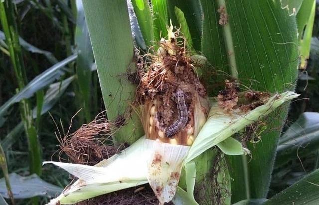 Sâu keo hoành hành châu Phi, châu Á, đe doạ an ninh lương thực
