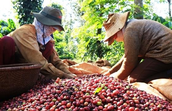 Cà phê thế giới thiết lập mặt bằng giá mới, giá nội địa cao kỷ lục
