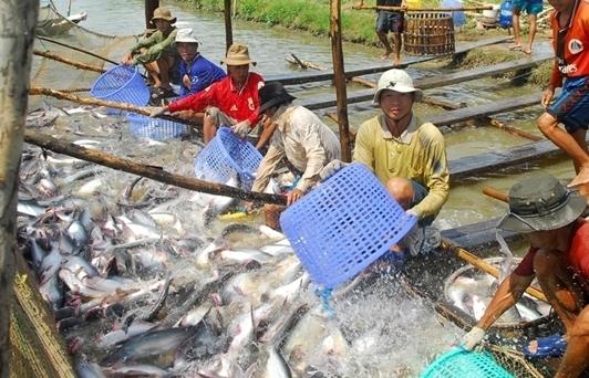 Hàng chục nghìn tấn cá tra không thu hoạch nổi vì quy định phòng dịch mỗi nơi một kiểu