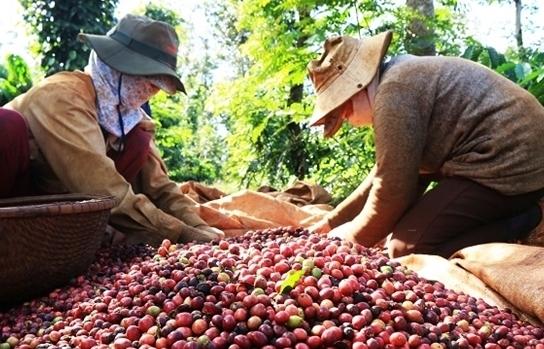 Giá cà phê nội địa tăng cao nhất trong 4 năm gần đây