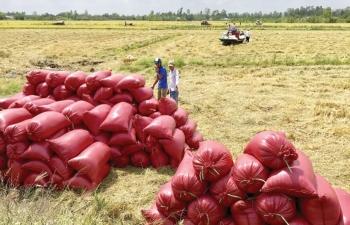 """Gạo Thái Lan, Ấn Độ """"quay đầu"""", giá gạo Việt bất ngờ đi lên"""