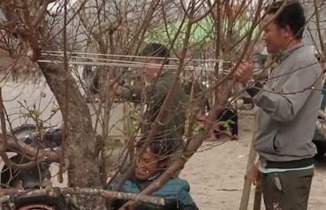 Cấm chặt đào rừng chơi tết -cần vào cuộc của Công an, Quản lý thị trường