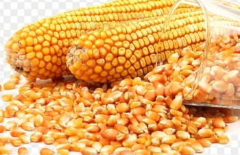 """""""Ngô hạt"""" và """"khô dầu đậu nành"""" không được miễn thuế NK"""