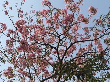 Sài Gòn dịu dàng với sắc hoa kèn hồng