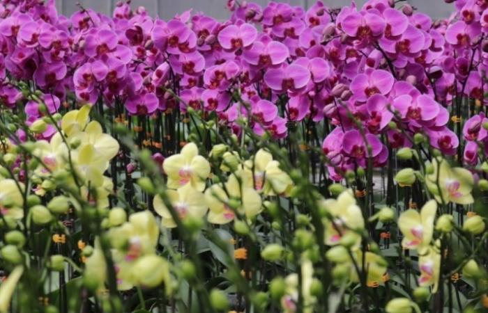 YSA Orchid Farm: Nơi ngàn đóa lan khoe sắc