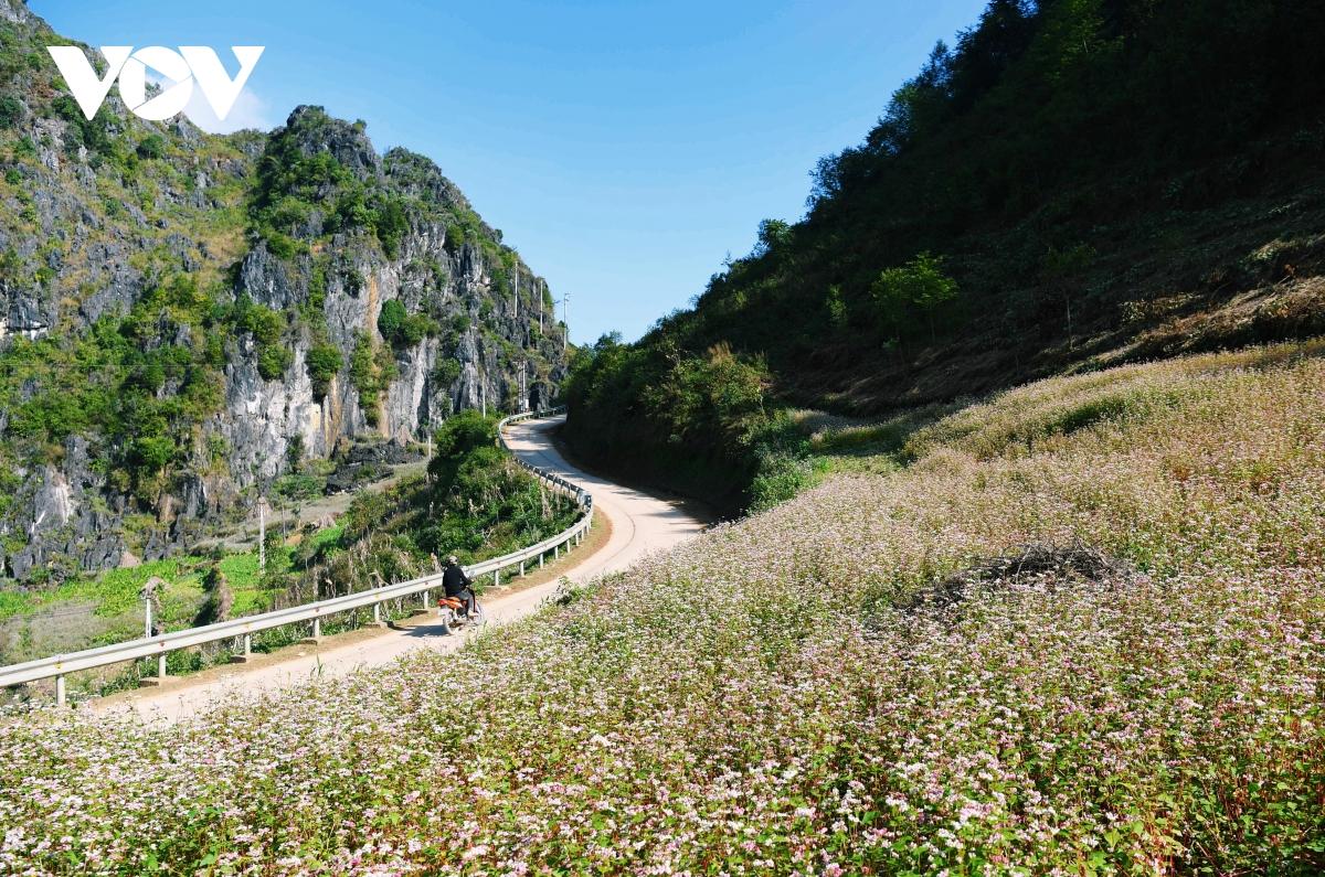 Mê đắm sắc hoa Tam giác mạch nở rộ ở Hà Giang